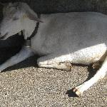 Goat in the shade, Buvette Incrota, above Les Paccots, August, 2009