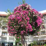 Un arbre recouvert de bougainvilliers. Superbe.
