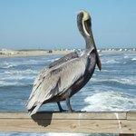 pelican at Mustang Island