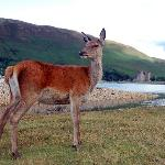Doe, a deer, a female deer, Arran.