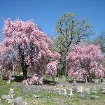 Lovely flowering trees.
