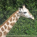 Feed The Giraffes! Seattle, WA