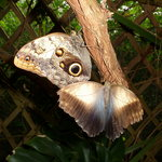 farfalle civetta