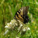 An Eastern Tiger Swallowtail...minus the tails.
