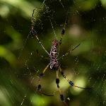 Golden Silk Spider.  I love these spiders...from a distance.  Overall, about 3-4 inches.