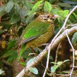 Coolara - Catbird
