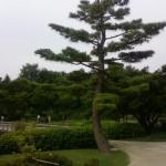 One of the pine trees within the Japanese Garden