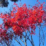 青い空に映える深紅の紅葉