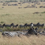 zebras moving to Mara river