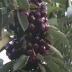 Cherries Sti ! BC 2005
