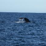 A sperm whale diving down