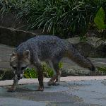 Fox visited every day last day brought three pups