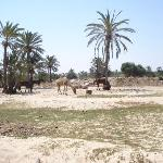 horses and camels near hotel