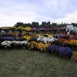 Potted Mums in all there glorious colors