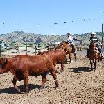 penning steers