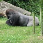 Thinking Gorilla @ Durrell C