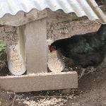 Friendly Chicks