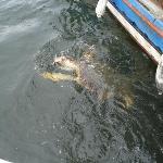 a Loggerhead Turtle