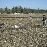 """clam dig"" at low tide on Qualicum Bay"