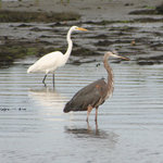 Egret & Great Blue Heron