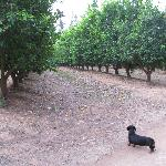 Some of the lemon trees and one of the Zuleika dogs