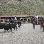 Cattle Penning