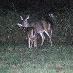 Blacktail Deer join us near the bonfire