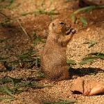 Barcelona Zoo Prairie Dog