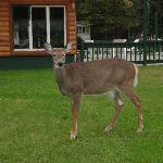 Deer grazin in front of pool