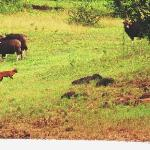 the dhole leader weighs its chances against the bull gaur [ behind the bush]