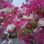 beautiful flowers in Santorini/Greece