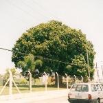 Piccola pianta di Mango - Il mango (Mangifera indica) è una pianta tropicale appartenente alla