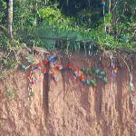 La colpa de los guacamayos