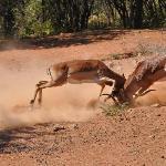 différent entre impalas