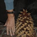 Coulter Pinecone