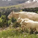 Mountain goats next to the trail