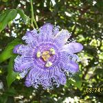 pretty passion flower
