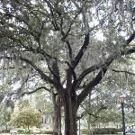 Savannah tree