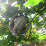 babaloo resident sloth