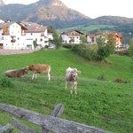 the neighborly cows