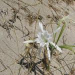 Elafonisi e il fiore bianco