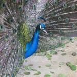 5/22/09 - Gladys Porter Zoo - Peacock
