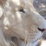 Foto de Mama Tau White Lions Breeding Project