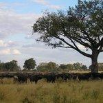 Buffalo Herd - Okavango Delta, Botswana
