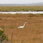 white crane in marsh