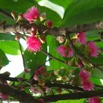 Victoria Gardens - Syzygium Malaccense
