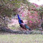 Resident Peacocks