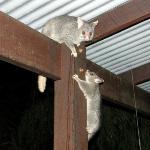 Possum antics