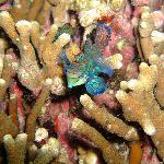 Mandarin Fish @ Lighthouse Dive
