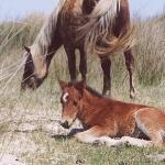Freedom of the Horses @ Shackleford Banks North Carolina by freedomk